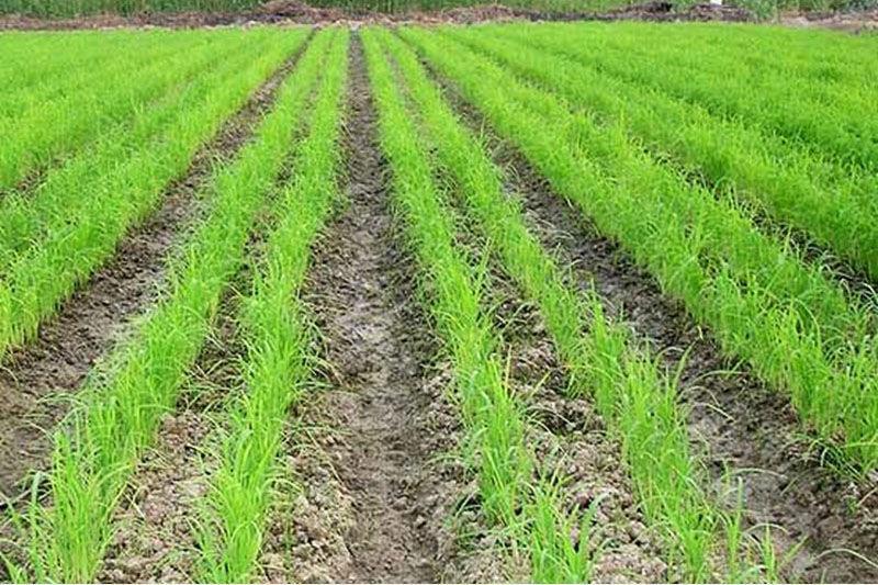خبرنگاران افزایش کشت برنج به روش خشکه کاری در شرق مازندران